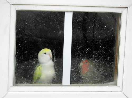 Live Parakeets in a Window