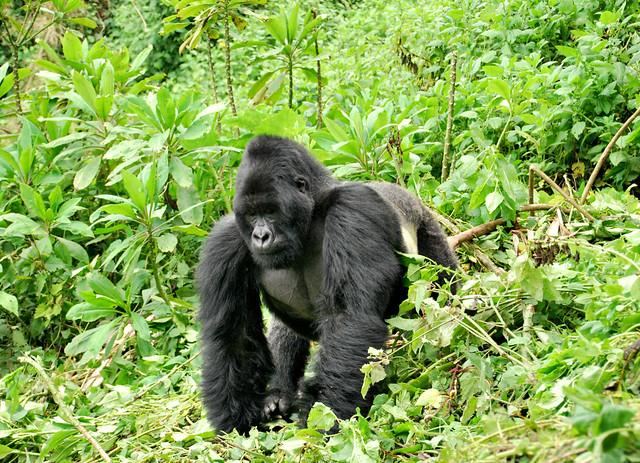 Gorila de montaña en el Parque Nacional de los Volcanes. Ruanda.
