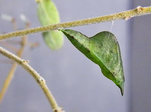 justin nature butterfly insect texas wildlife lepidoptera chrysalis pupa sleepyorange