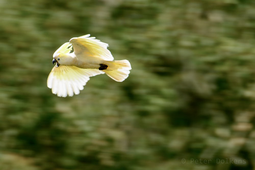 Sulfur Crested Cockatoo by Peter Dolkens