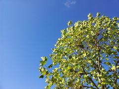 Chestnut tree and blue sky