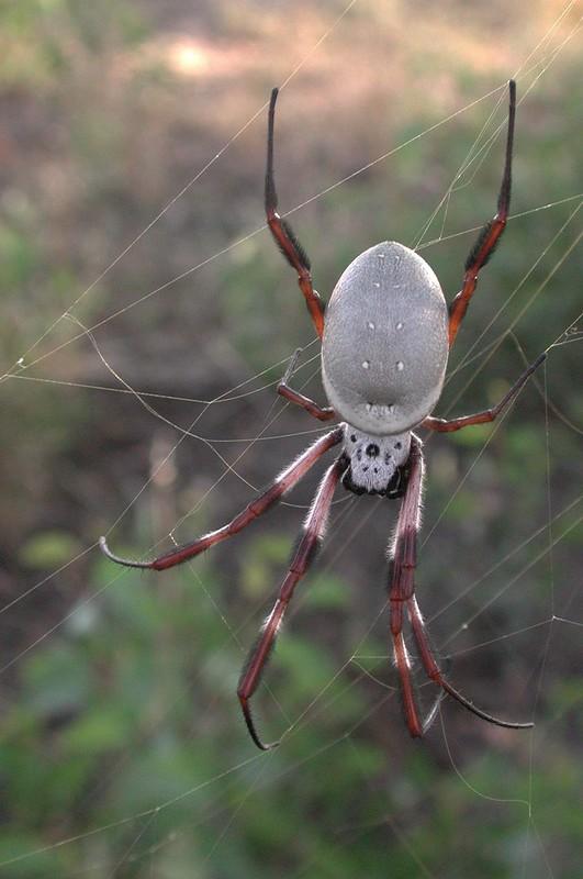 Orb-web Spider EC