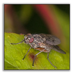 Macro Fly with Red Eyes