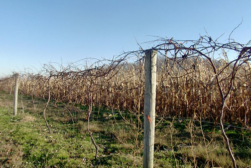 grape vines corn field 004