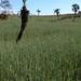 Wheat fields with palms - Campos de trigo con palmas; Guadalupe Hidalgo, Región Mixteca, Oaxaca, Mexico por Lon&Queta