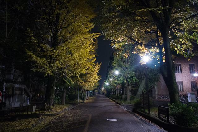 京都大学の銀杏並木