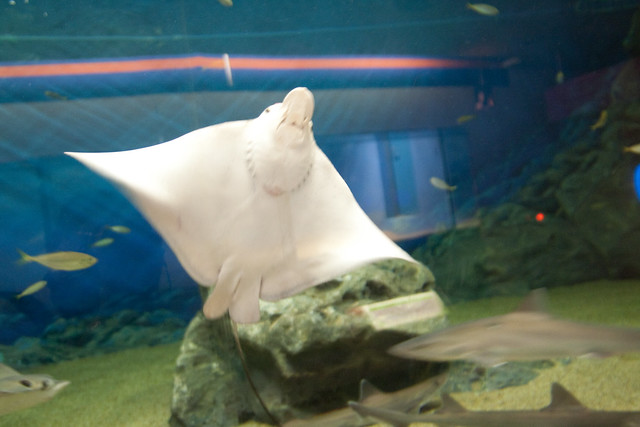 Marine World Uminonakamichi in Fukuoka  Manta Ray  By: Jepster  Flickr - P...