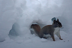 Squirrel Snow Tunnels