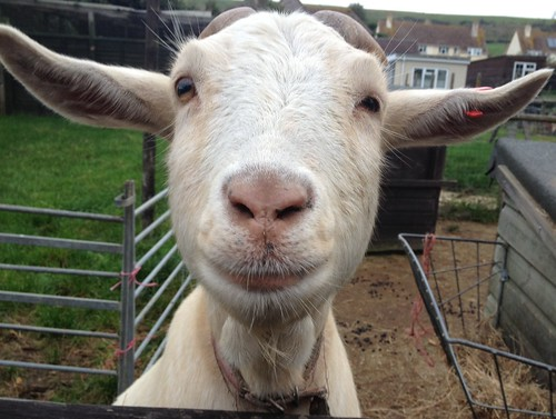 Pearl (or Marina) the Goat at Margaret Green's Animal Rescue