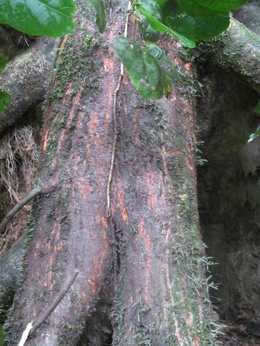 marks on Uapaca stilt root