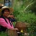 Cueilleuses en pause dans le jardin du Lu An Gua Pian