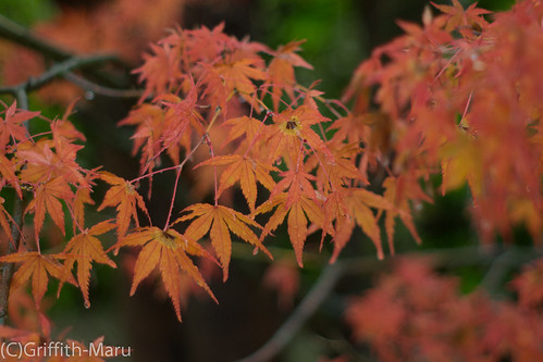 Kyoto Coloured Leaves