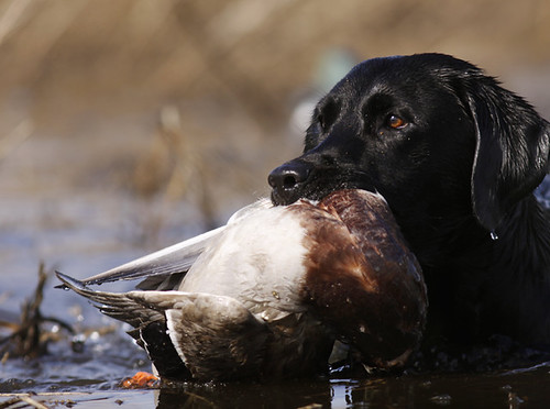 Riley With A Drake Mallard