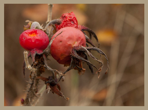 fruits from wild rose