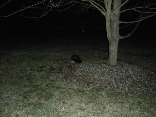 2012-11-22 [1] Skunk under maple tree
