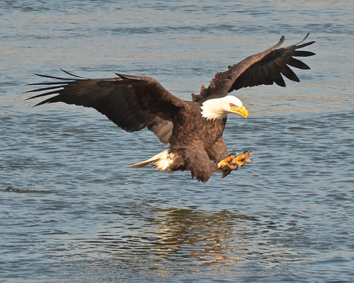 nature birds outdoors nikon eagle ngc baldeagle maryland finegold conowingodam nikond7000 ringexcellence dblringexcellence tplringexcellence eltringexcellence vigilantphotographersunite vpu2 vpu3 vpu4 vpu5 vpu6 vpu7 vpu8 vpu9 vigilantphtographersunit