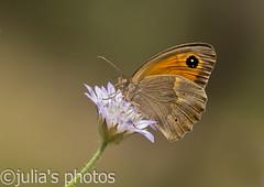 Meadow Brown, Bodrum, Turkey