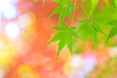[Free Images] Flowers / Plants, Maple, Maple ID:201212030600