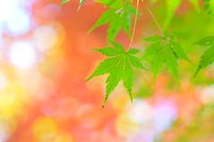 [免费图片素材] 花・植物, 枫, 枫 ID:201212030600