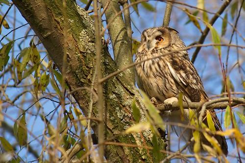 Ransuil,Long eared Owl (Asio otus)