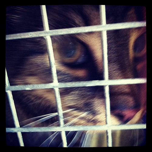 Poor BigCat. Vet visit today. His medication isn't doing the job.