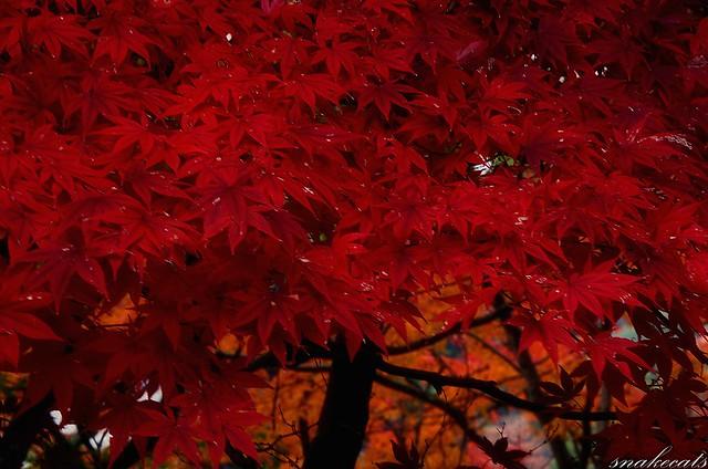 「染まる楓」 長谷寺 - 奈良