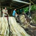 Small photo of Processing Abaca Fiber