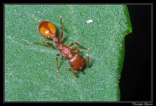 Temnothorax sp. (Temnothorax parvulus ?)