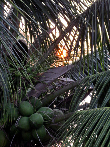 sunset through coconut tree