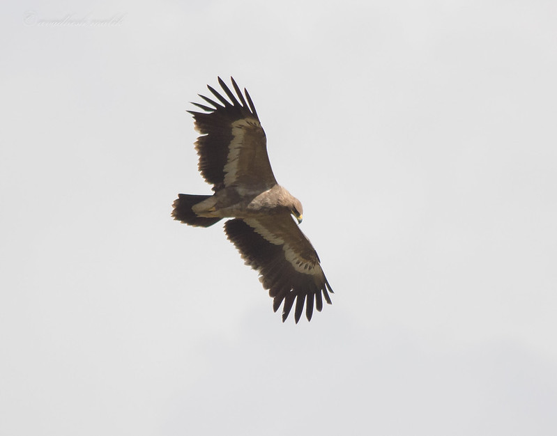 Steppe Eagle, Juvenile