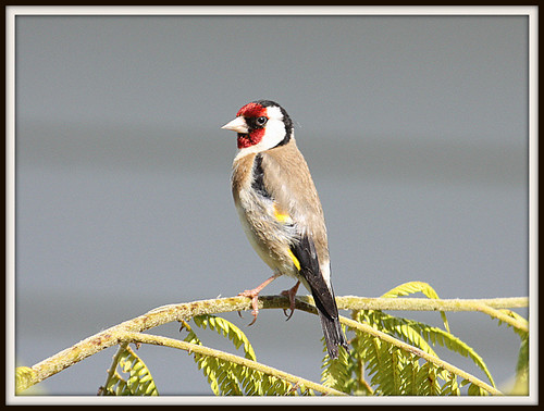 Goldfinch-004