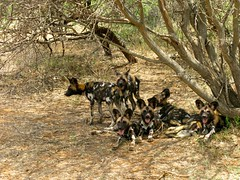 Wild Africa Dogs