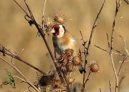 Goldfinch - Carduelis carduelis