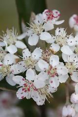 Aronia arbutifolia 'Brilliantissima', Chokeberry