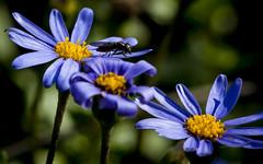 Flower Fly on Blue Daisy