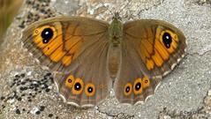 Némusien (le mâle) ou Ariane (la femelle), Braunauge, Rispenfalter (Lasiommata maera) (2012-08-09 -06)