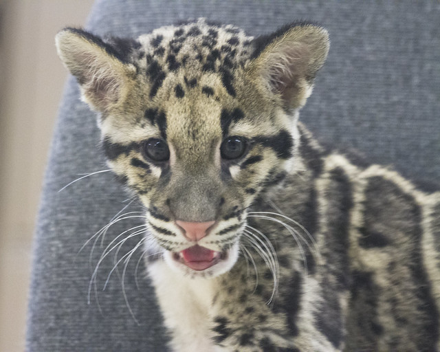 Baby Clouded Leopard Flickr Photo Sharing