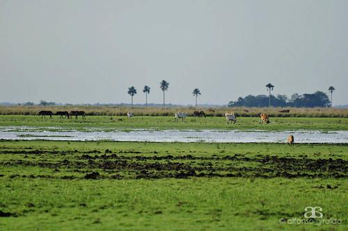 colombia pasto ganado sabana llanura cravo arauca moriche araucano llanosorientales morichales ciollo cravonorte llanros