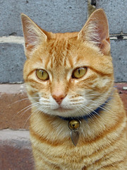 nose, animal, tabby cat, toyger, small to medium-sized cats, pet, snout, mammal, european shorthair, pixie-bob, fauna, close-up, cat, whiskers, domestic short-haired cat,