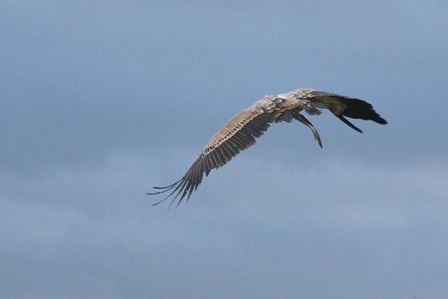 DSC_5424 Vulture