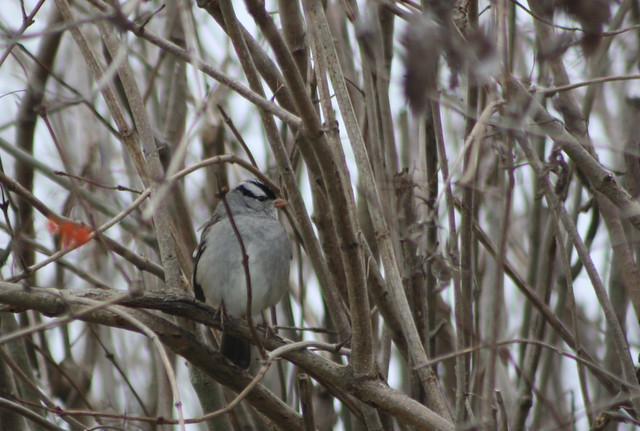 White-crowned Sparrow (Zonotrichia leucophrys) at Bombay Hook NWR on 16 December 2012