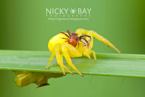 Crab Spiders (Thomisidae) - DSC_7430