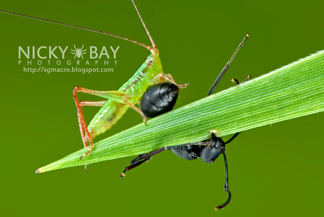 Cricket with a dead ant (Gryllidae) - DSC_6931