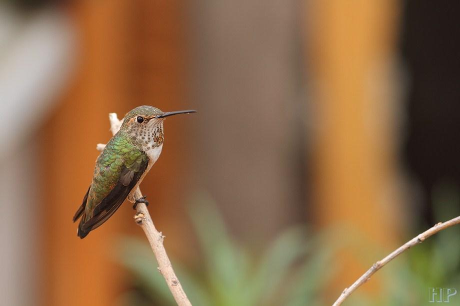 Allen's Hummingbird 110812-2
