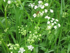 apiales(0.0), yarrow(0.0), vegetable(0.0), galium odoratum(0.0), produce(0.0), annual plant(1.0), flower(1.0), cow parsley(1.0), cicely(1.0), plant(1.0), anthriscus(1.0), wildflower(1.0), hesperis matronalis(1.0), caraway(1.0),