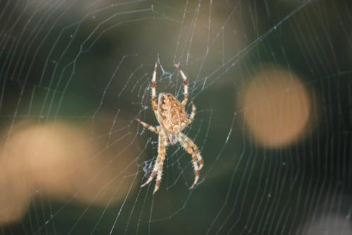 Il ragno d'oro e la sua tela