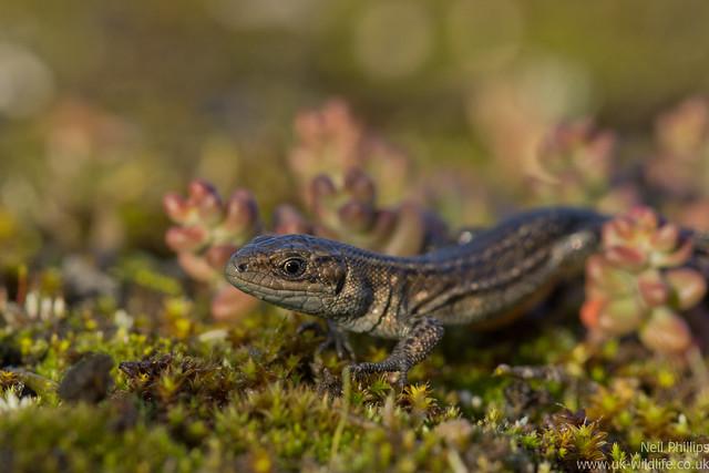 common lizard juvenile Zooteca vivipara 3