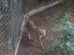 Pacing Cheetah 2