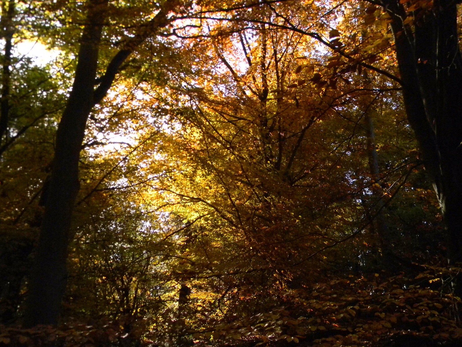Autumn colours Crowthorne to Sandhurst (avoiding Eversley)