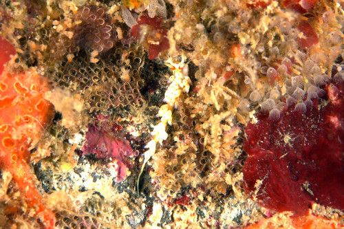 アカテンミノウミウシ